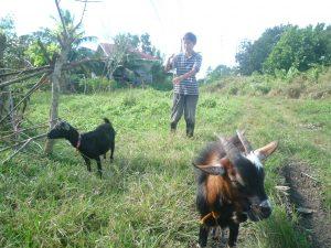 朝、ヤギを草場へ連れ出す