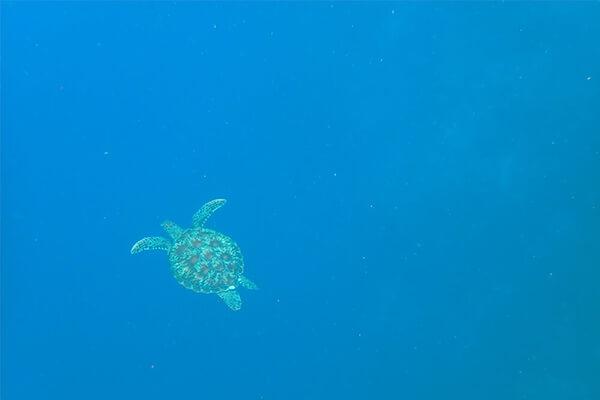 セブ_モアルボアル_水中で泳ぐウミガメ