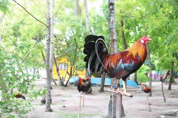 カオハガン島の鶏